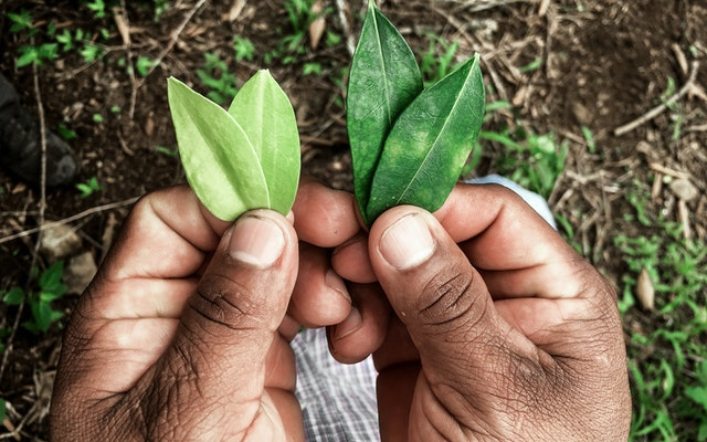 Two hands holding coca leaves