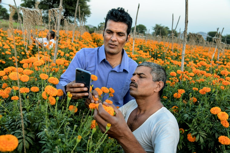 Men in a field of marigolds look at a smartphone.