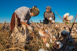 Women in a cotton field