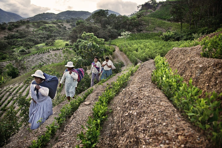 A group of women walk through a coca plantation.