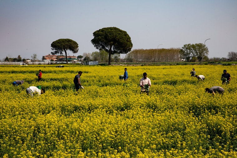 Workers in a field of yellow rapeseed plants