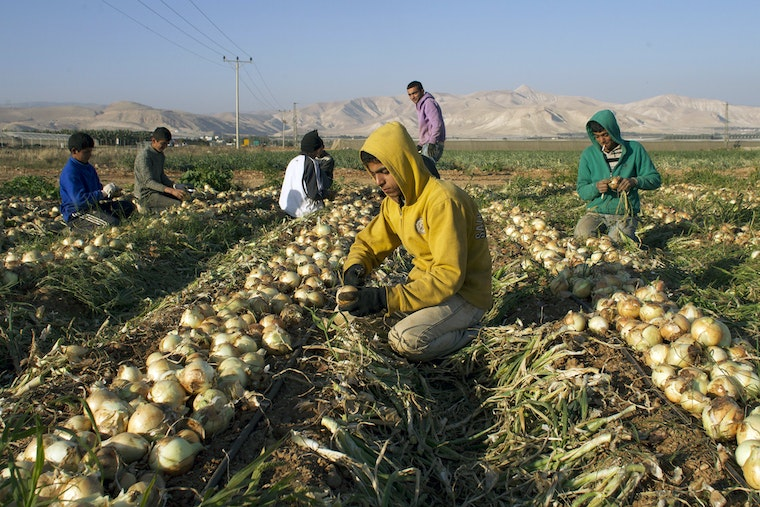 Men picking onions in a field.